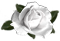 <img:http://www.elfpack.com/stuff/RoseBulletWhite.png>